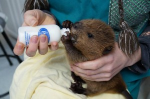 Baby beaver being bottle fed by Walden's Puddle staff.