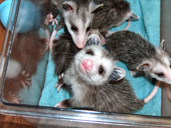 Help For Baby Opossums Walden S Puddle