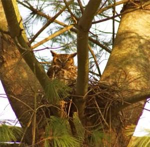 owl-in-nest