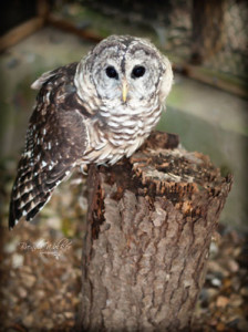"""Micah,"" a barred owl. Photo credit: Brenda Walker Photography."