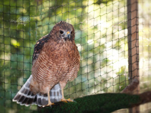 """River,"" a red shouldered hawk. Photo credit: Brenda Walker Photography."