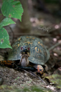 """Sheldon,"" an eastern box turtle. Photo credit: Brenda Walker Photography."