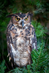 """Sowa,"" a great horned owl. Photo credit: Brenda Walker Photography."
